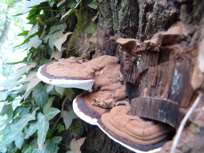Champignon du bois mort